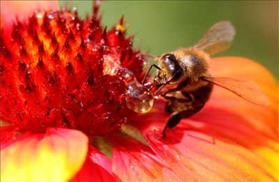 Científicos de Varsovia crean abeja robot polinizadora