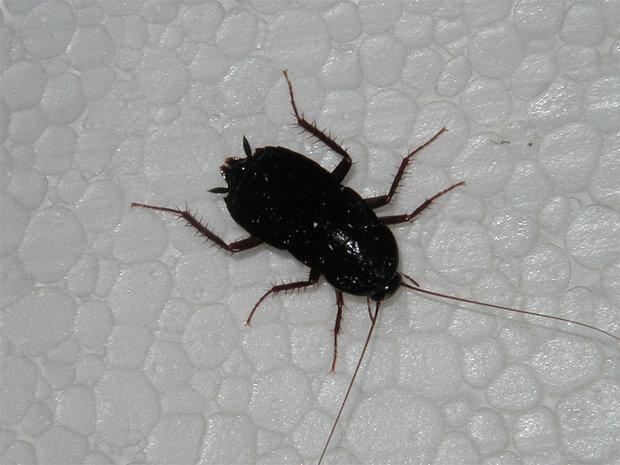 Zoo estadounidense propone san valent n con cucarachas - Insecte rampant maison ...