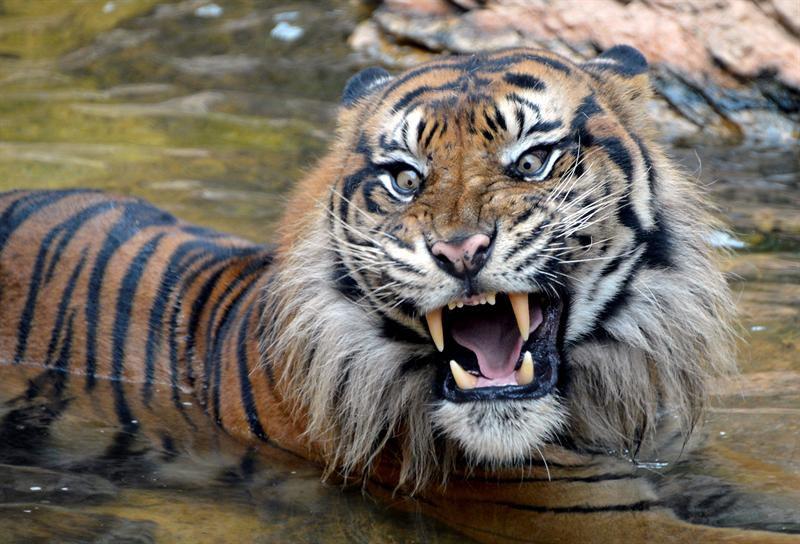 Tigre mata a cuidadora en zoológico al norte de Londres