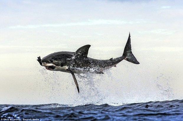 Resultado de imagen para tiburon volador imagenes