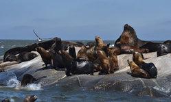 Contenido de la imagen Colonia de lobos marinos frente a Montevideo