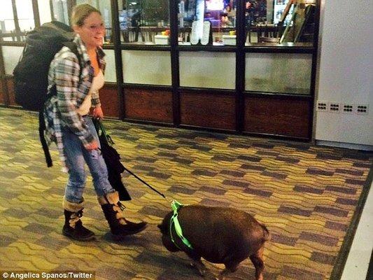 Cerdo vietnamita expulsado de un avión