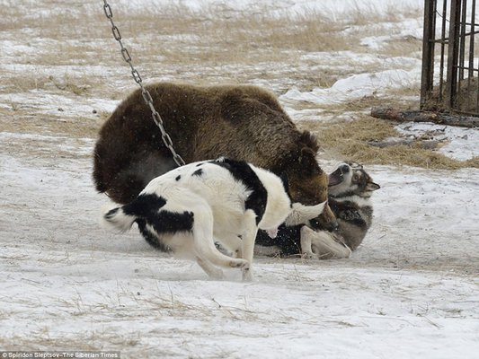 Can Dogs And Polar Bears Mate