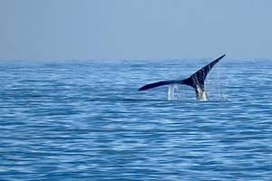 Se lanza temporada de ballenas en Piriápolis