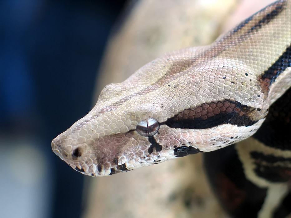 Mujer llamó al 911 mientras una serpiente la ahorcaba