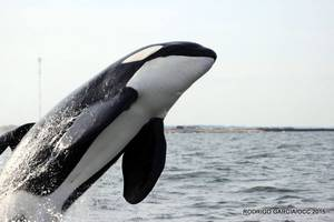 Impresionantes fotos de orcas y ballenas en La Paloma