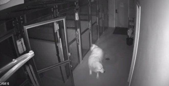 Perro abre puertas y escapa de una veterinaria