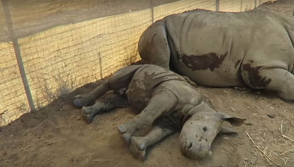 Los primeros pasos del rinoceronte
