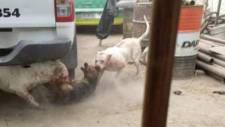 Captura perros callejeros para darle de comer a sus dogos — Horror