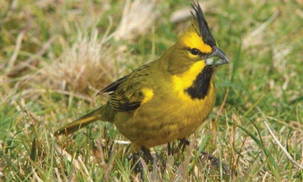 Foto: Libro Rojo de las Aves del Uruguay