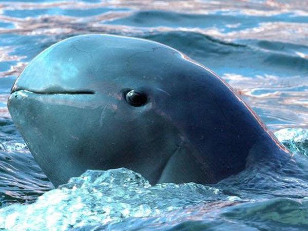 Semarnart anuncia nuevas acciones para proteger a la vaquita marina