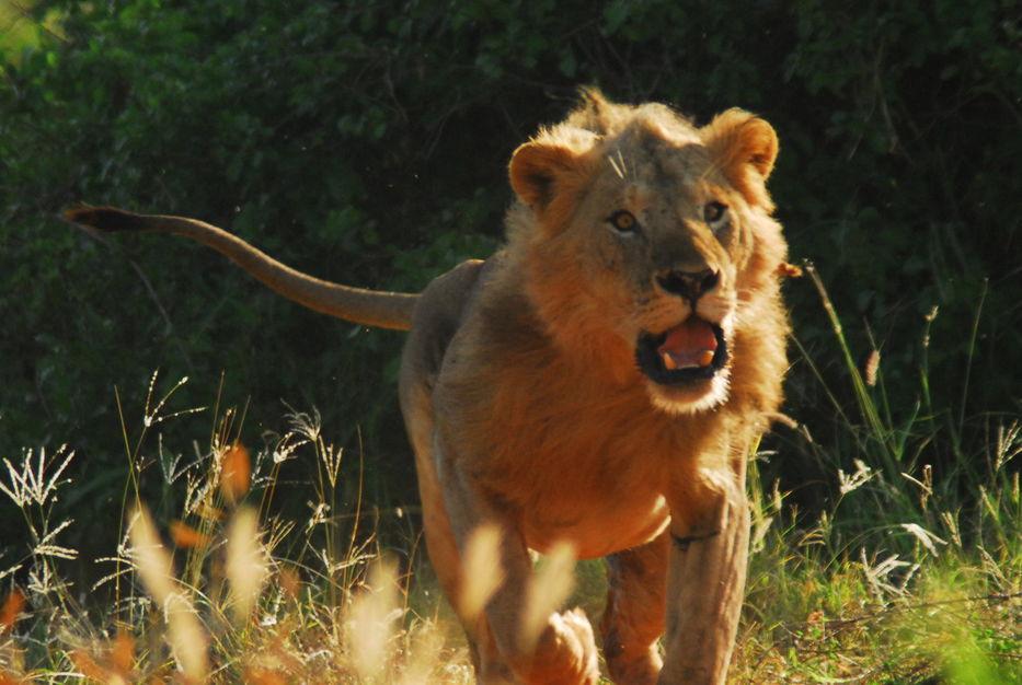 Una manada de leones devoraron a un cazador