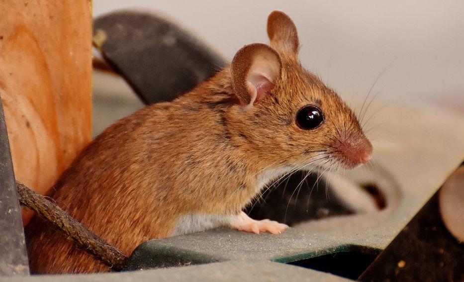 Encuentran manera de revertir el alzhéimer en roedores