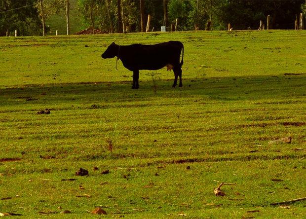 Más vale vaca en mano
