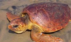 Contenido de la imagen Liberación de tortugas rehabilitadas