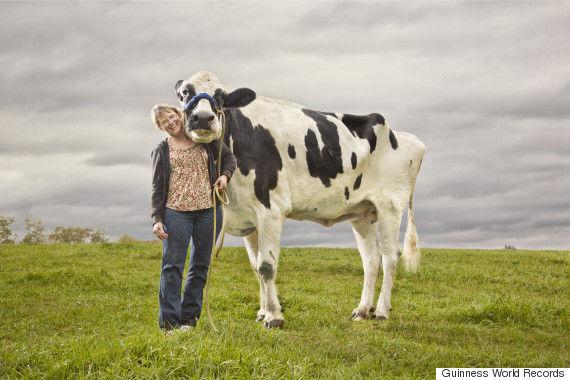No es una vaca cualquiera