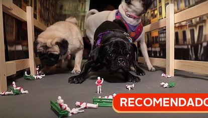 RECOMENDADO: Encierro de pugs