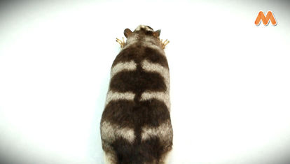 MAÑANA ES TARDE: El marsupial más raro del planeta