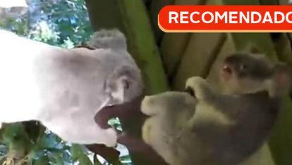 RECOMENDADO: Koalas satánicos