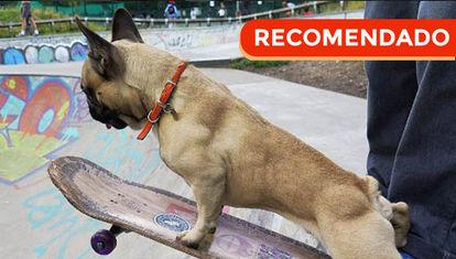 El bulldog francés más canchero del mundo