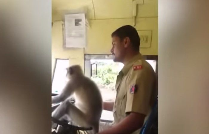 Chofer en India permite que un mono maneje el autobús