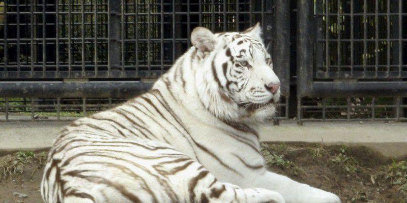 Un tigre blanco mata a un cuidador de zoológico en Japón