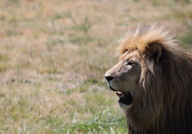 Un león mata a una trabajadora de un zoológico en EEUU