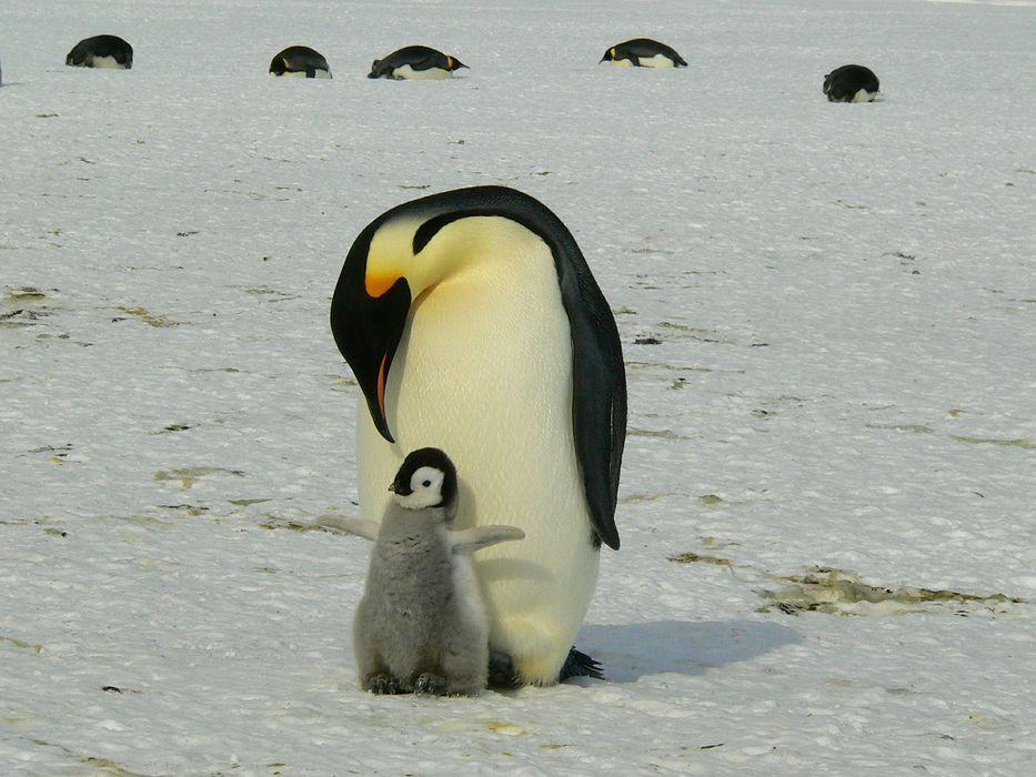 Pareja de pingüinos macho en Australia se convierten en padres