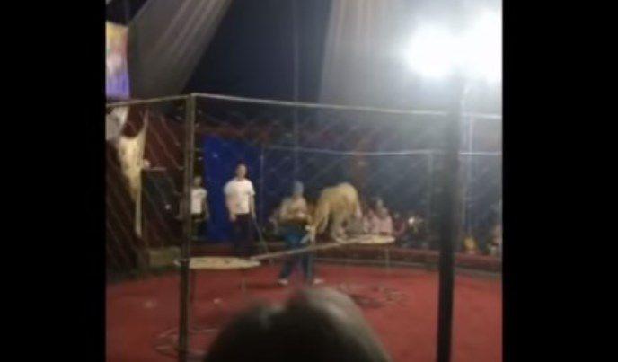Horror: una leona atacó salvajemente a una pequeña niña en un circo