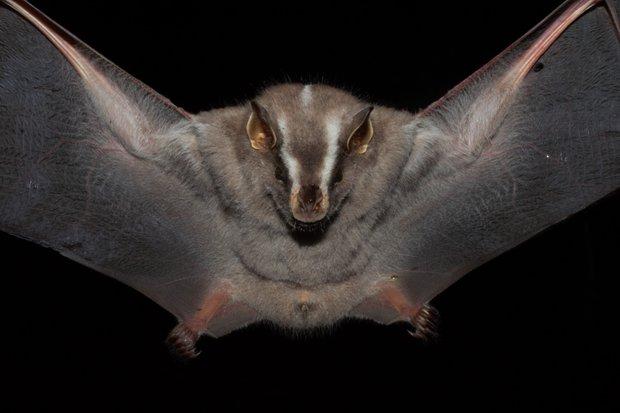 Murciélago de línea blanca. Foto: Germán Botto