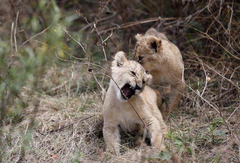 Los dos leones