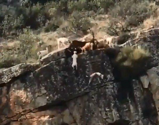 12 perros y un ciervo cayeron al vacío en feroz batalla