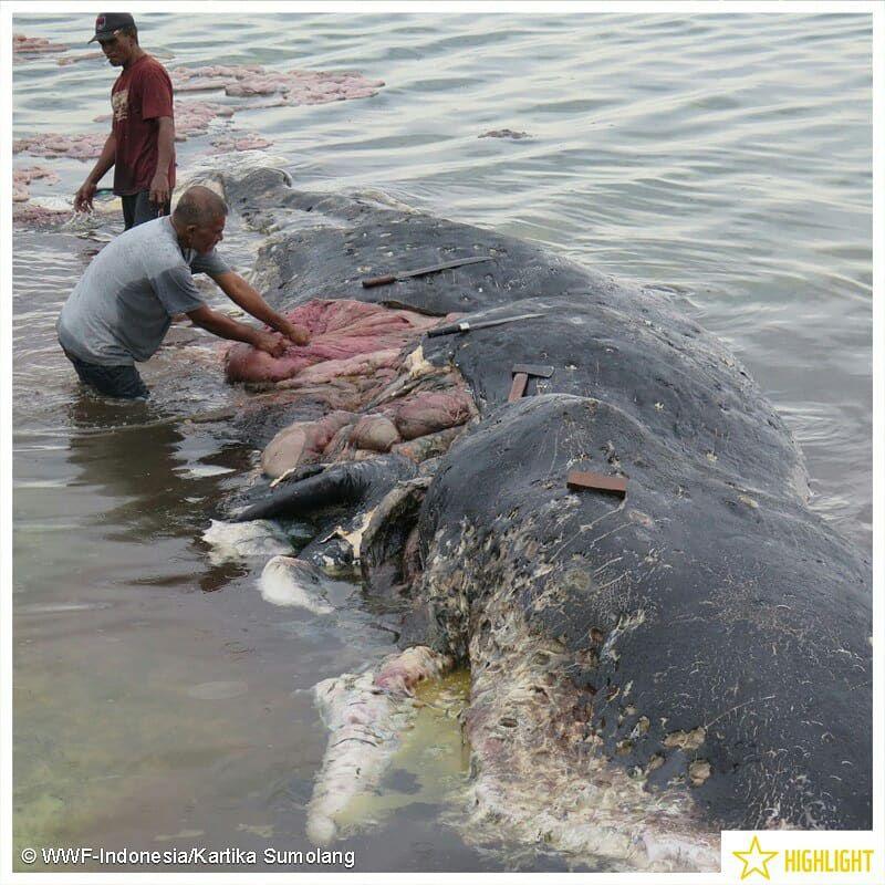 Encuentran en Indonesia ballena muerta llena de plástico
