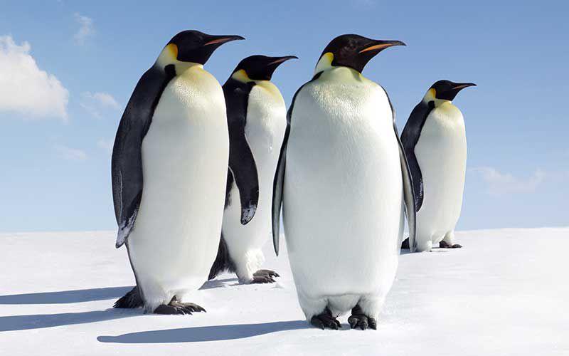 Esta desapareciendo la segunda colonia de Pingüinos más grande, por cambio climático