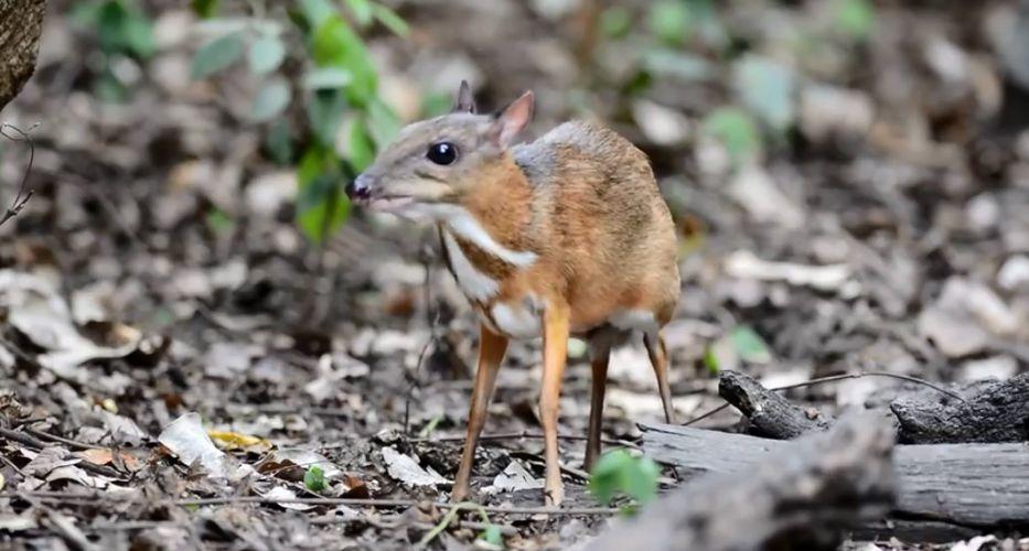 Encuentran un Tragulidae, especie que se creía extinta desde hace 30 años