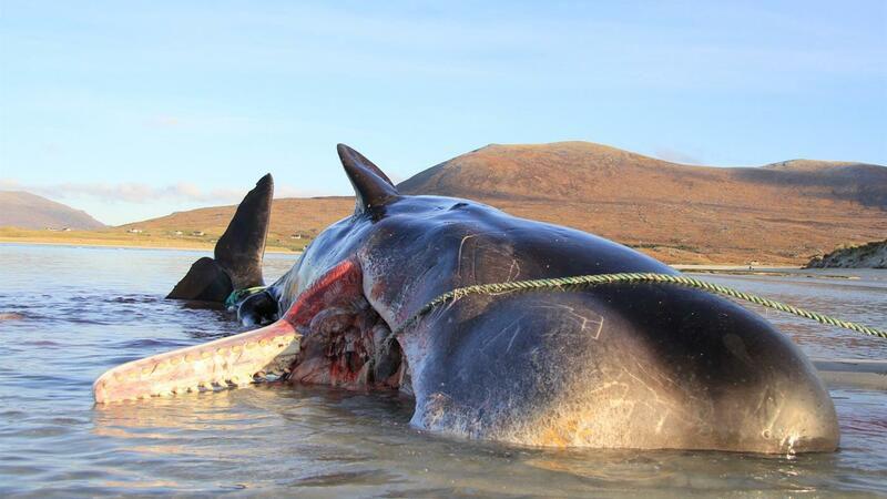 Extraen 100 kilos de basura de ballena muerta en Escocia