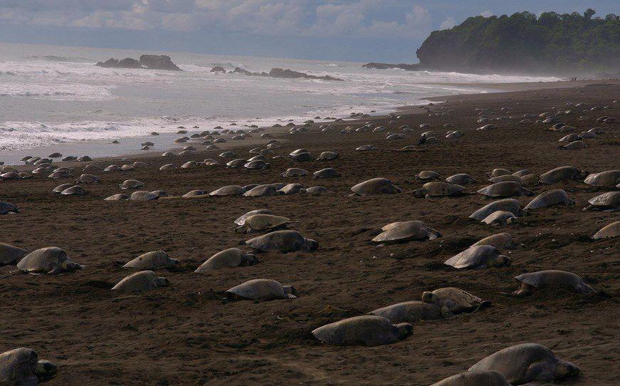 Gracias al confinamiento humano, miles de tortugas anidan en paz ...