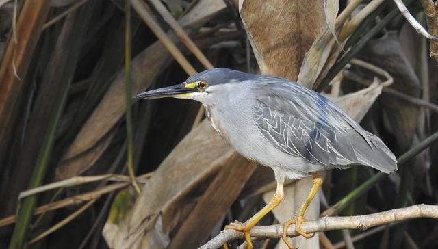 Nuestra fauna: Garcita azulada