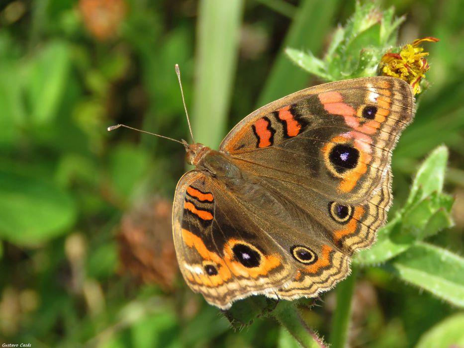 Nuestra fauna: mariposa pavo real