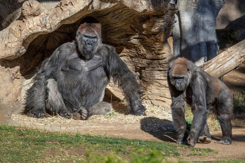 Gorilas dan positivo al coronavirus por primera vez