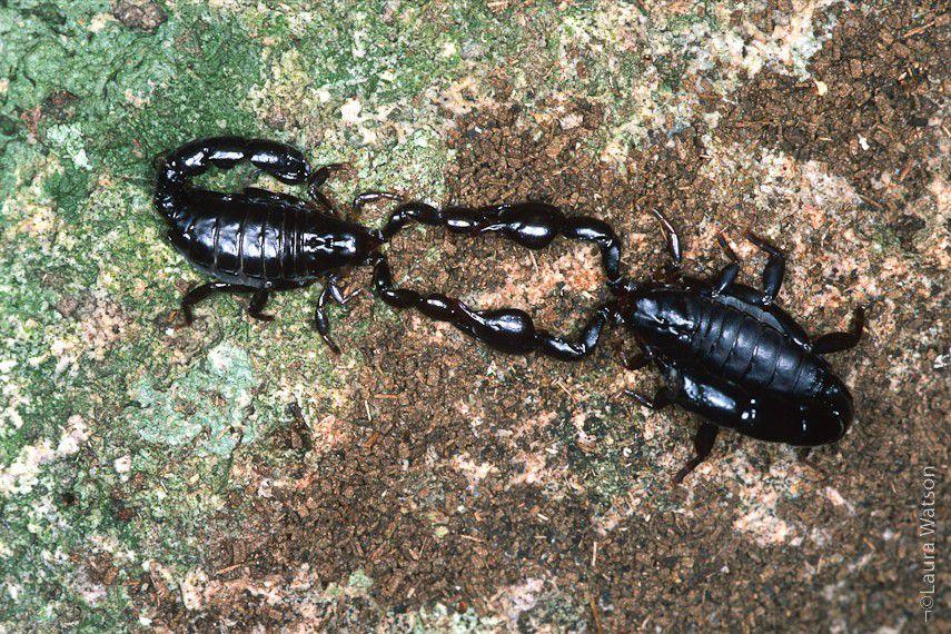 Nuestra fauna: Escorpión