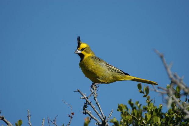 Individuo silvestre macho de cardenal amarillo. Foto de Adrián Azpiroz.